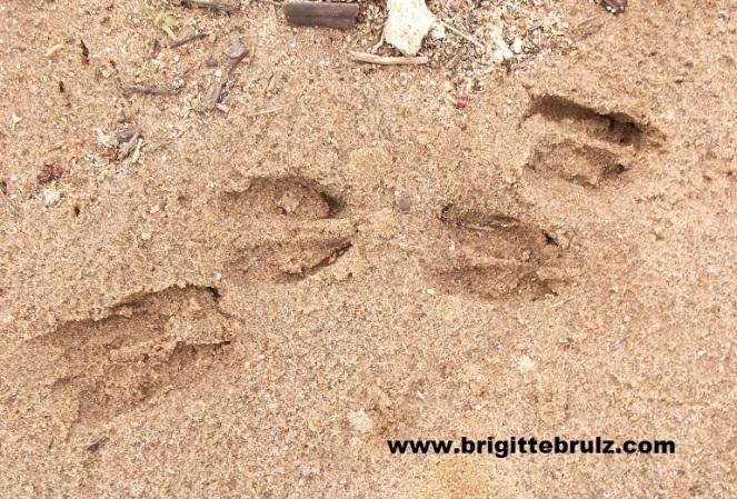 deer tracks in sand