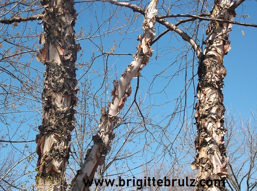 Birch Trees and Blue Sky